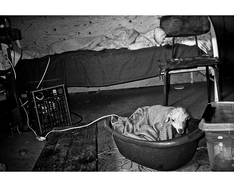 ICELAND / 05.2010A newborn lamb.© Michal Luczak / Sputnik Photos / Anzenberger