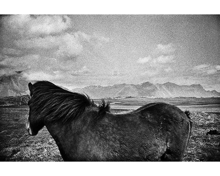 ICELAND / 05.2010Icelandic horse.© Michal Luczak / Sputnik Photos / Anzenberger